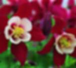 aquilegia_origami_red_white.jpg