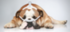 CPAP-Animals-Bull-Dog-1.png