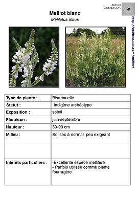 Melilotus albus - Mélilot blanc