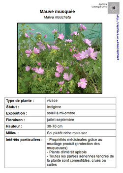 Malva-moschata - Copie.jpg