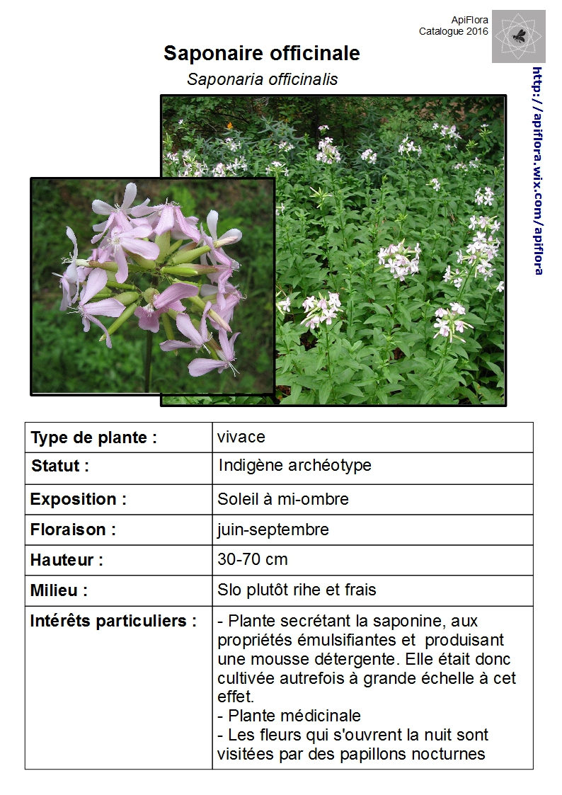 Saponaria-officinalis.jpg