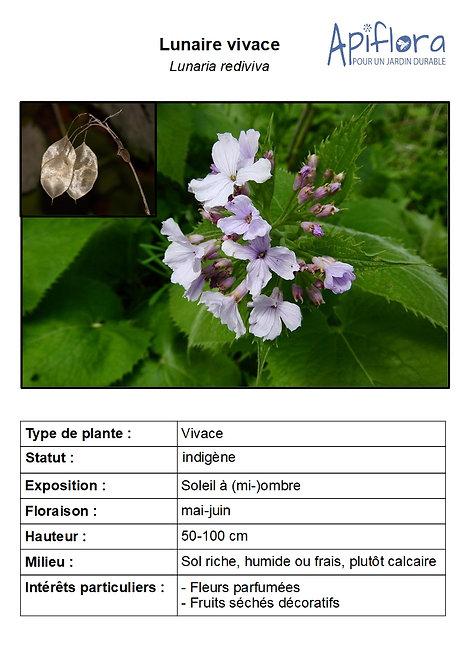 Lunaria rediviva - Lunaire vivace