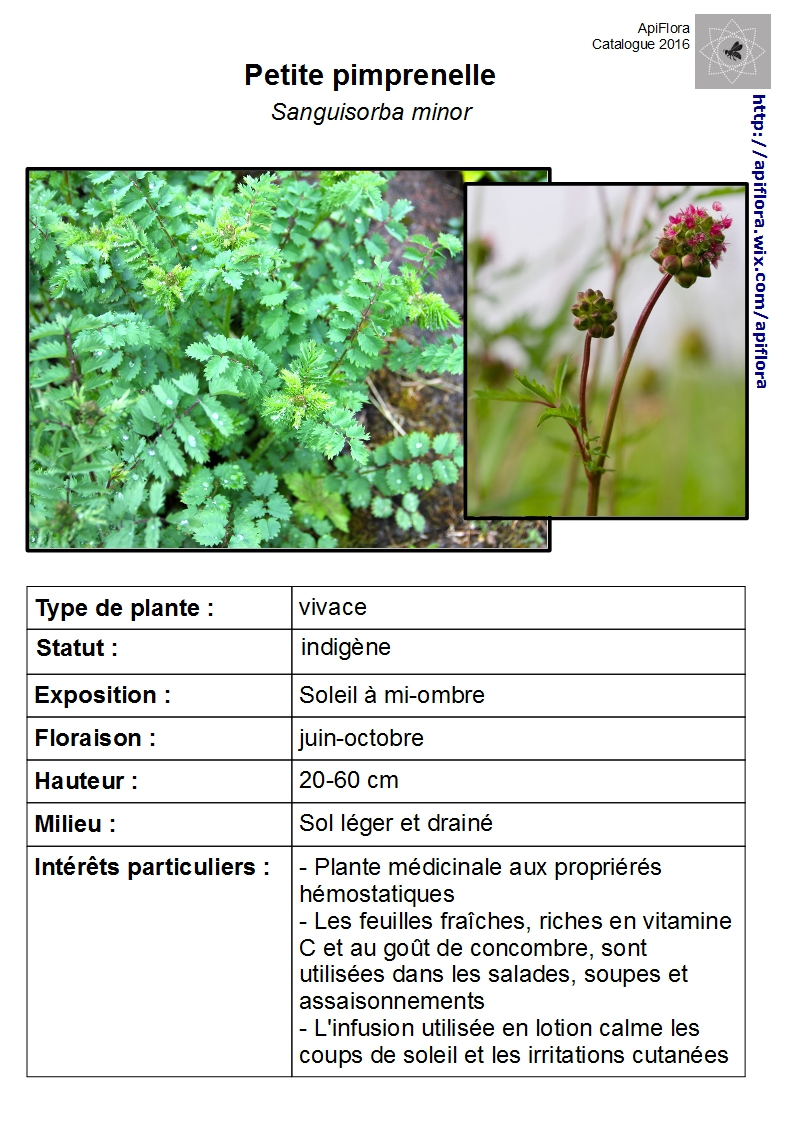 Sanguisorba-minor.jpg