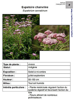 Eupatorium cannabinum - Eupatoire chanvrine