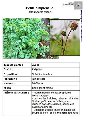 Sanguisorba minor - Petite pimprenelle