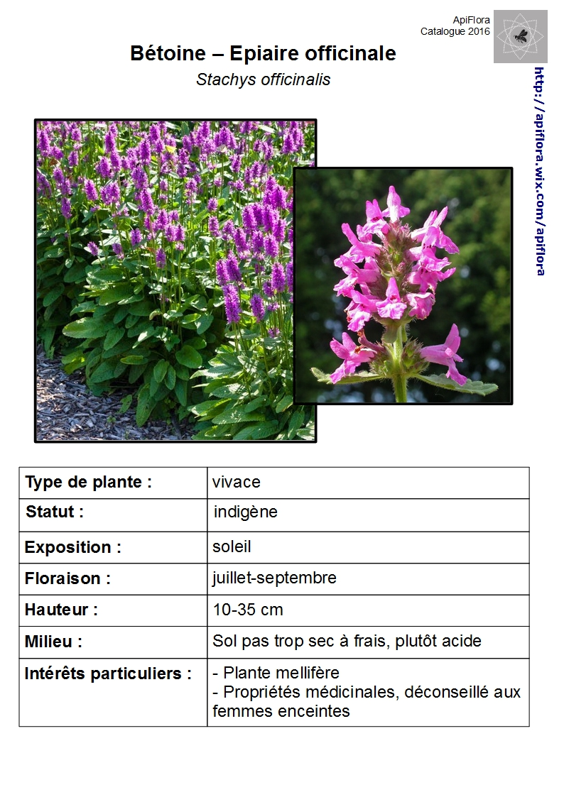 Stachys-officinalis.jpg