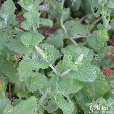 Mentha suaveolens - Menthe à feuilles rondes