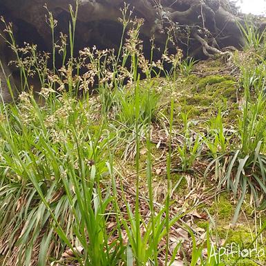 Luzula sylvatica - Luzule des bois