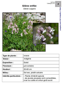 Silene-vulgaris.jpg