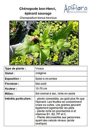 Chenopodium bonus-Henricus - Chénopode bon-Henri
