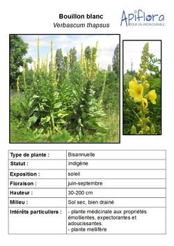 Verbascum-thapsus.jpg