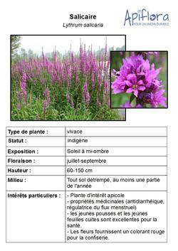 Lythrum-salicaria.jpg