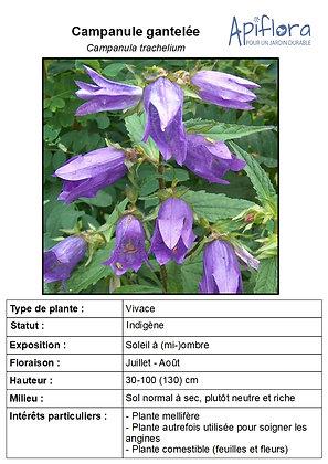 Campanula trachelium - Campanule gantelée