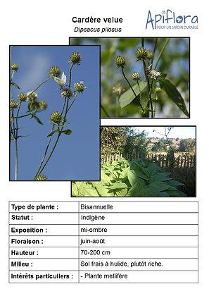 Dipsacus pilosus - Cardère velue