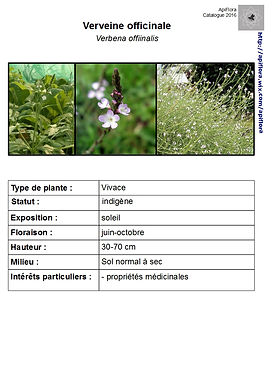 Verbena officinalis -  Verveine officinale