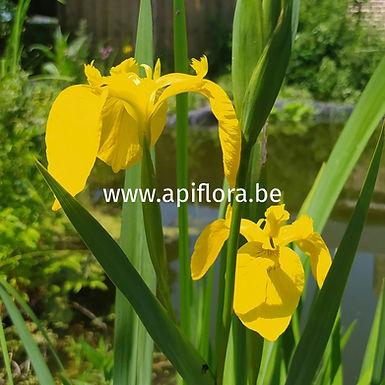 Iris pseudacorus - Iris des marais