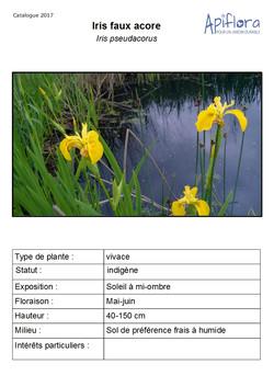 Iris-pseudacorus.jpg