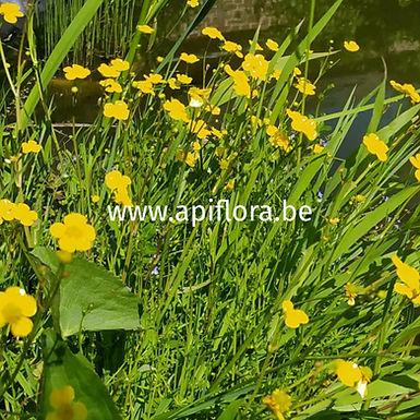 Ranunculus flammula - Renoncule flammette