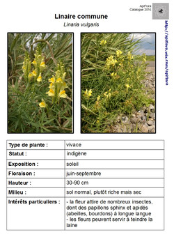 Linaria-vulgaris.jpg