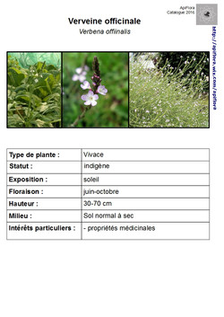 Verbena-officinalis.jpg