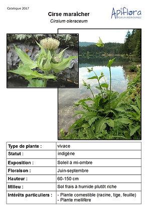 Cirsium oleraceum - Cirse maraîcher