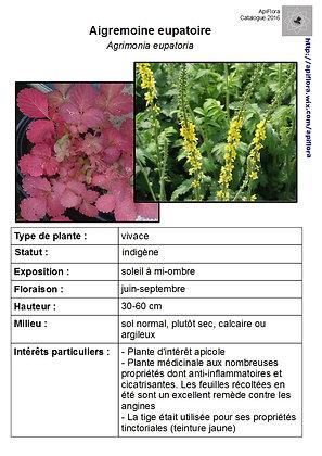 Agrimonia eupatoria - Aigremoine eupatoire