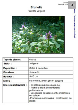 Prunella-vulgaris.jpg