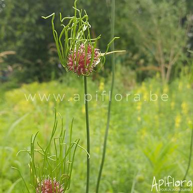 Allium oleraceum - Ail des champs