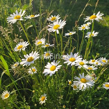 Leucanthemum vulgare - Marguerite des prés