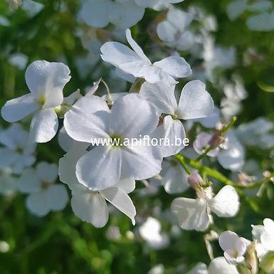 Hesperis matronalis 'alba' - Julienne des dames blanche