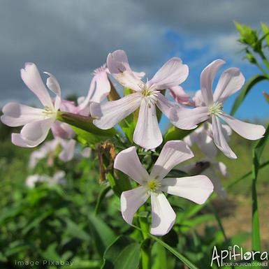 Saponaria officinalis - Saponaire