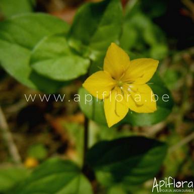 Lysimachia nemorum -