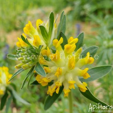Anthyllis vulneraria - Anthyllide vulnéraire