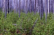 Yellowstone Regrowth 02.jpg