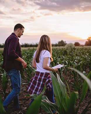 Farmers walking through corn field at su
