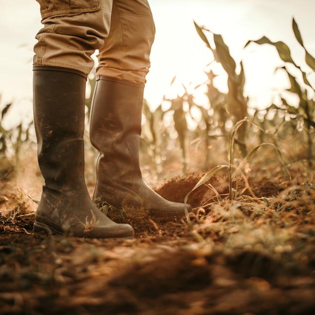 Farmer rubber boots in corn feild 02.jpg