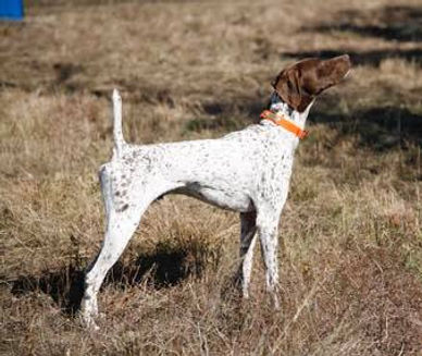 German Shorthaired Dogs