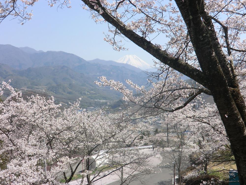 大法師公園桜.jpg