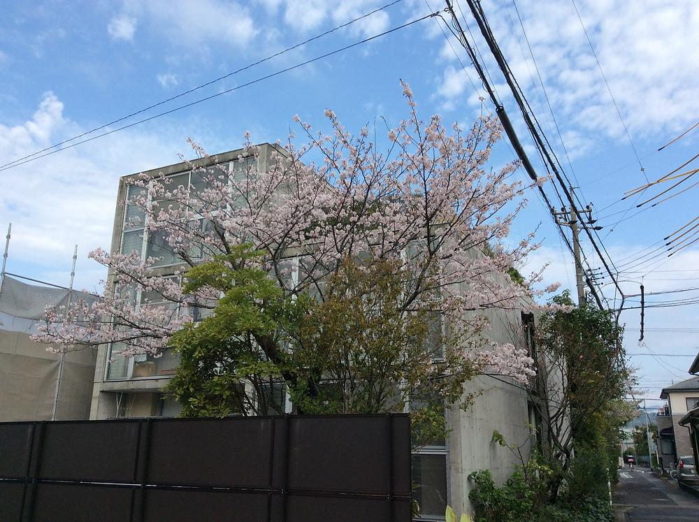 我が家の桜.JPG
