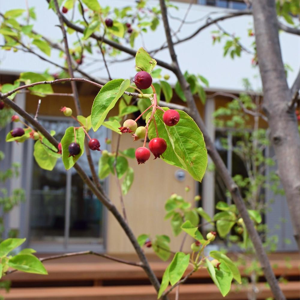 ジューンベリー ジューンベリーの実 食べ頃 シンボルツリー