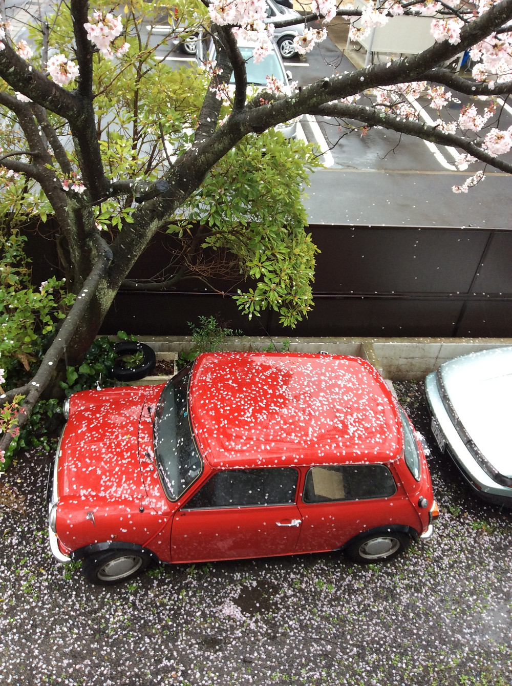 散り始めた桜の木の下_edited.JPG