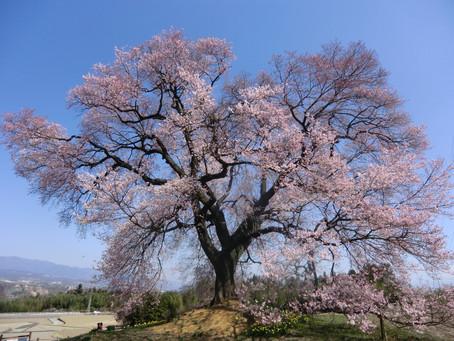 桜SAKURA 2015