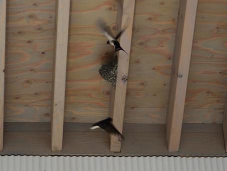 ツバメが巣を作る家