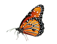 butterfly-png-image-17_edited.png