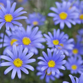 blue daisy_edited.jpg