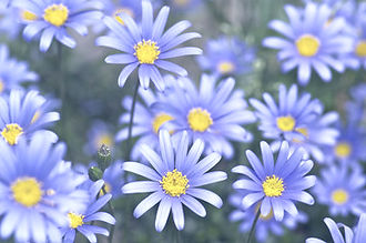 blue daisy_edited.jpg