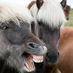 Icelandic Ponies Laughing 245x245.jpg