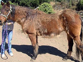 Cresty Necks and Laminitis: Equine Endocrinology