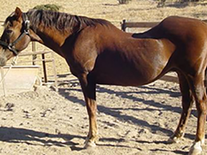 Silicosis: A Tragic Irreversible Lung Condition in Horses