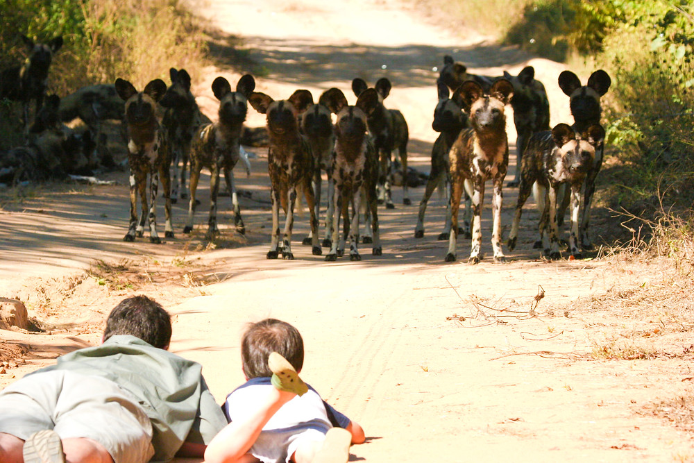 African Painted Dog: Mana Pools National Park